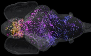 Mapping the vestibular system of a zebrafish